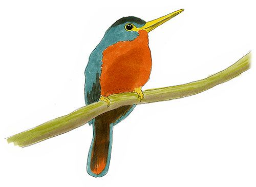 500x365 Yellow Billed Jacamar Nature Sketch. Copic Markers Sketch Of Wild