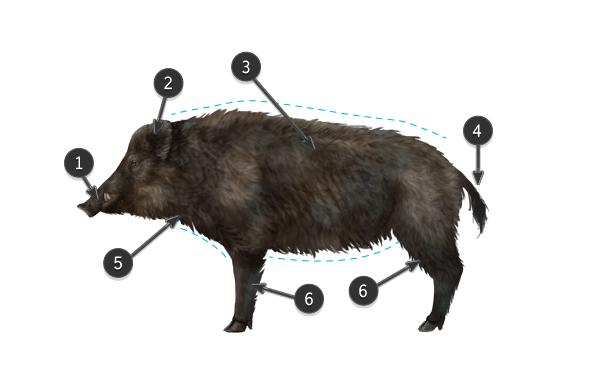 600x378 Wild Boar Body Boar Wild Boar, Draw Animals