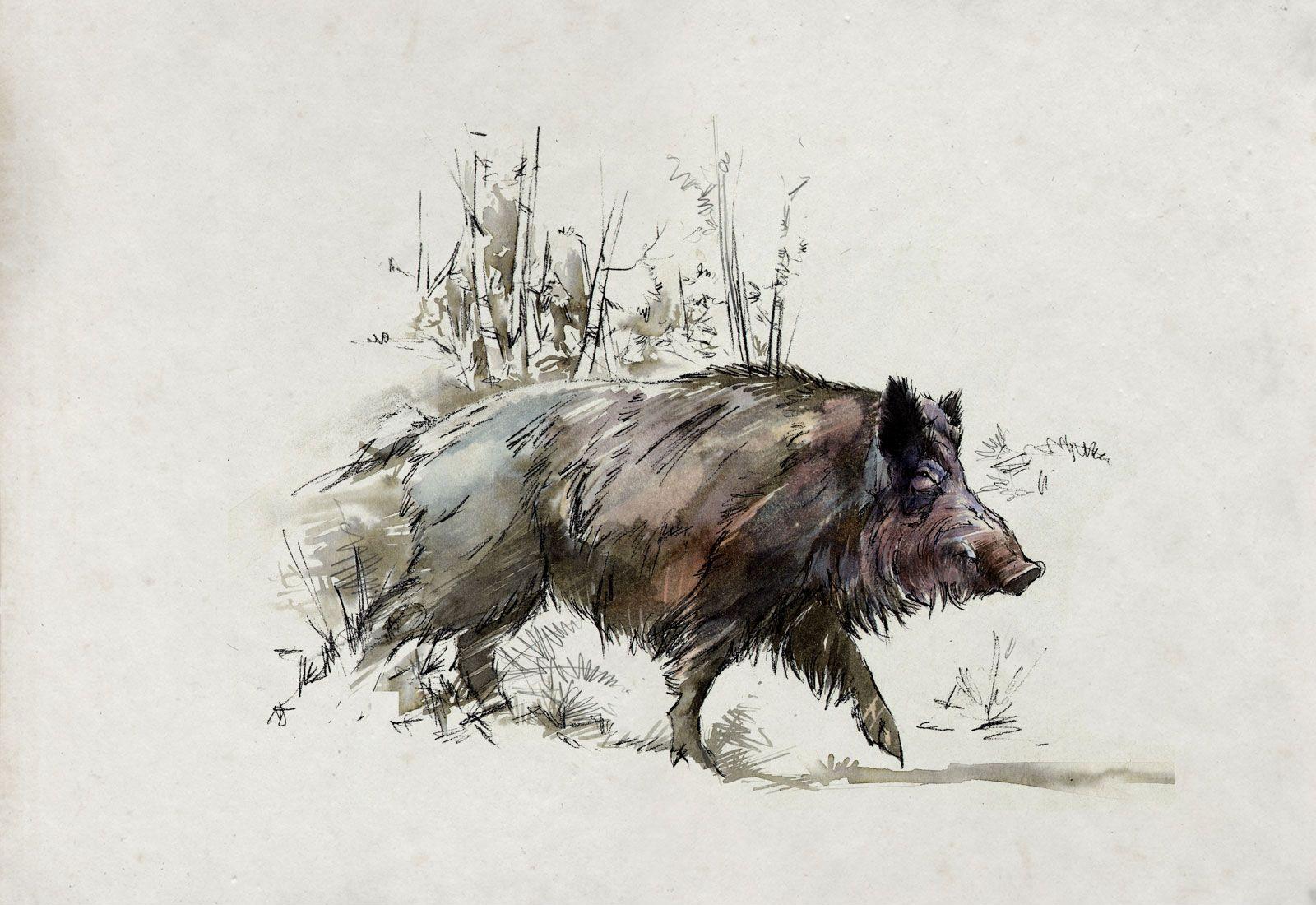 1600x1100 Wild Boar Drawings