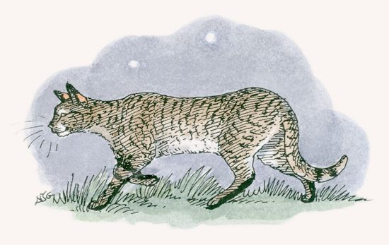 550x347 African Wildcat Mpalalive!