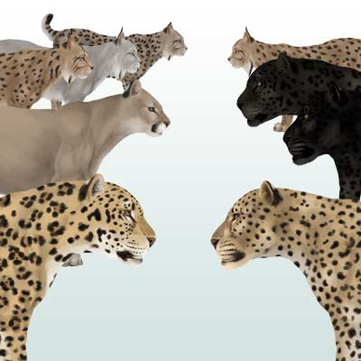 400x400 How To Draw Animals Big Cats, Their Anatomy And Patterns