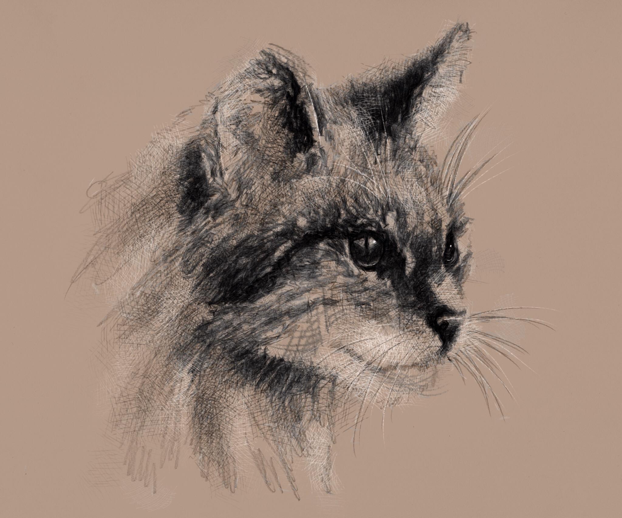 2048x1707 Scottish Wild Cat