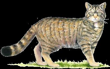 367x230 Top 3 Threats To Wildcat Survival