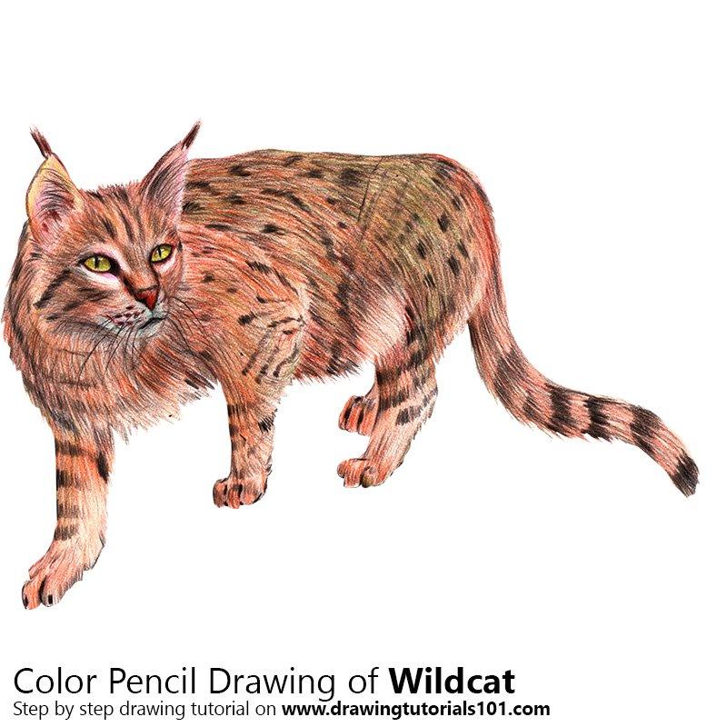 800x800 Wildcat Colored Pencils