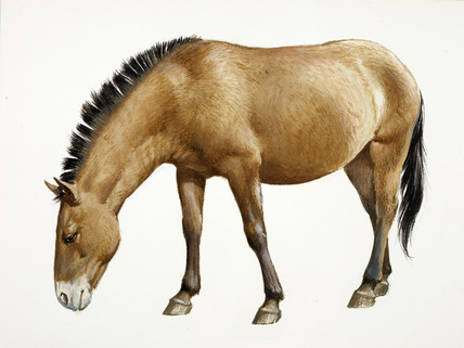 428x321 A Reconstruction Drawing Of A Mesolithic Wild Horse By Derek Lucas