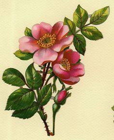 236x288 Image Result For Victorian Wild Roses Tattoo Ideas