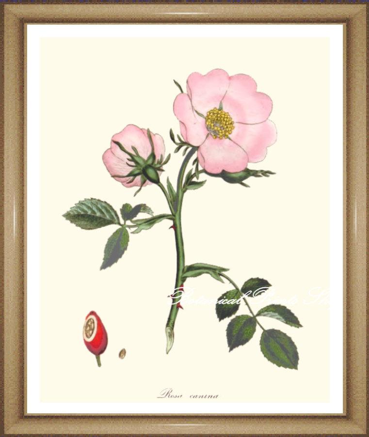 761x902 Roses Print No 23. Wild Rose. Botanical Prints. Pink Rose