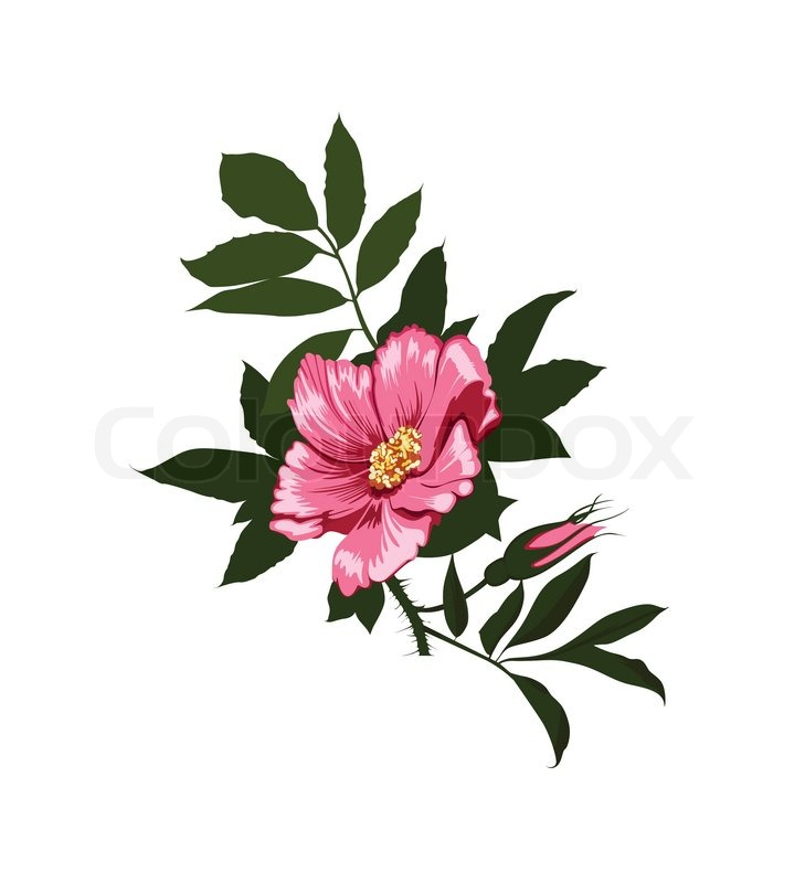 729x800 Wild Rose Flower On A White Background Stock Vector Colourbox