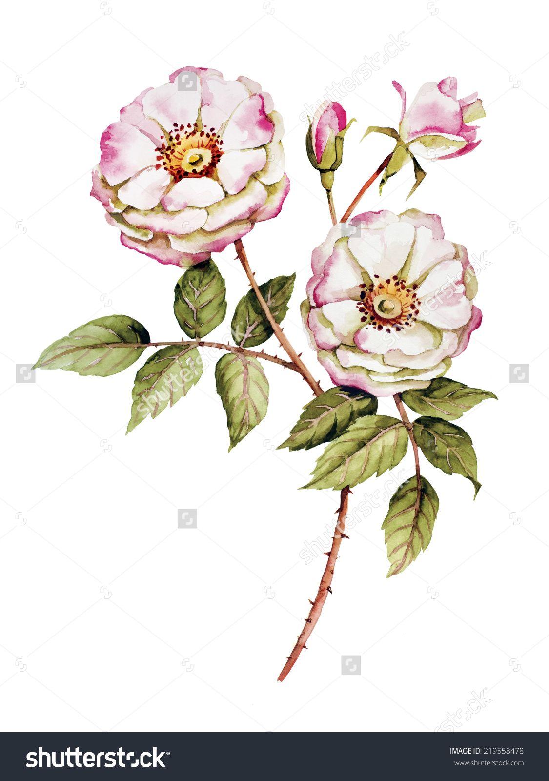 1125x1600 Botanical Rose Drawing