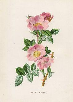 236x331 Wild Rose Botanical Illustration