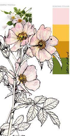 236x458 Wild Rose Drawing