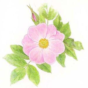 300x300 Wild Rose Drawing Alberta Provincial Flower Wild Rose