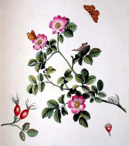 444x500 Wild Rose Drawings