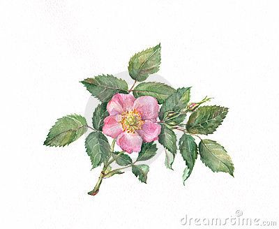 400x328 Wild Rose Watercolor Painting Briar Rose