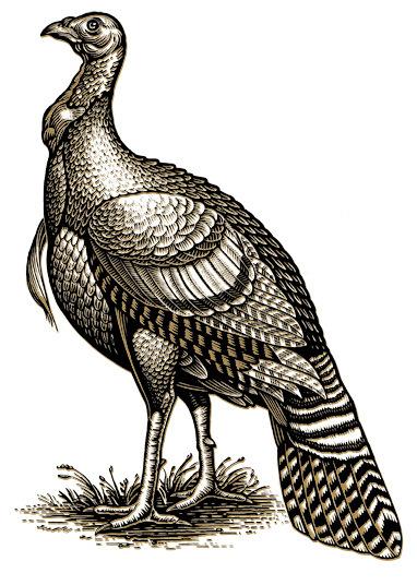 382x536 Drawing Wild Turkey Logo Turkey's Wild Turkey