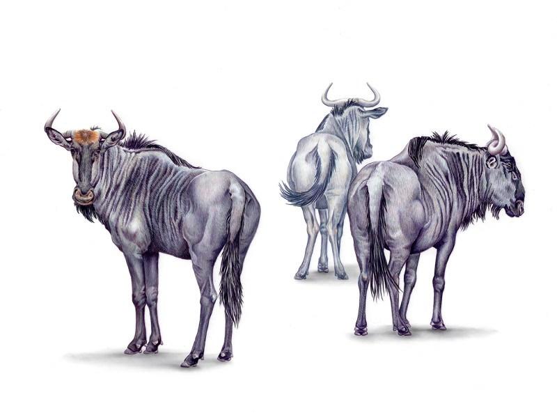 800x593 Blue Wildebeest Rebecca Jabs