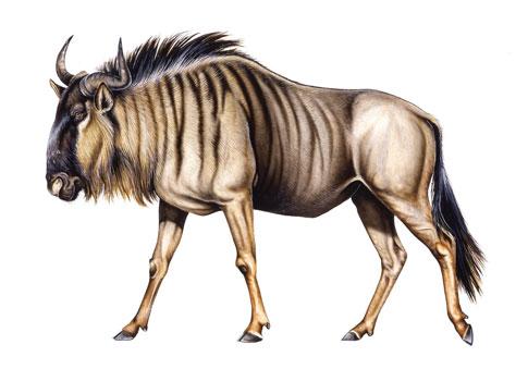 485x339 Wildebeest Illustration