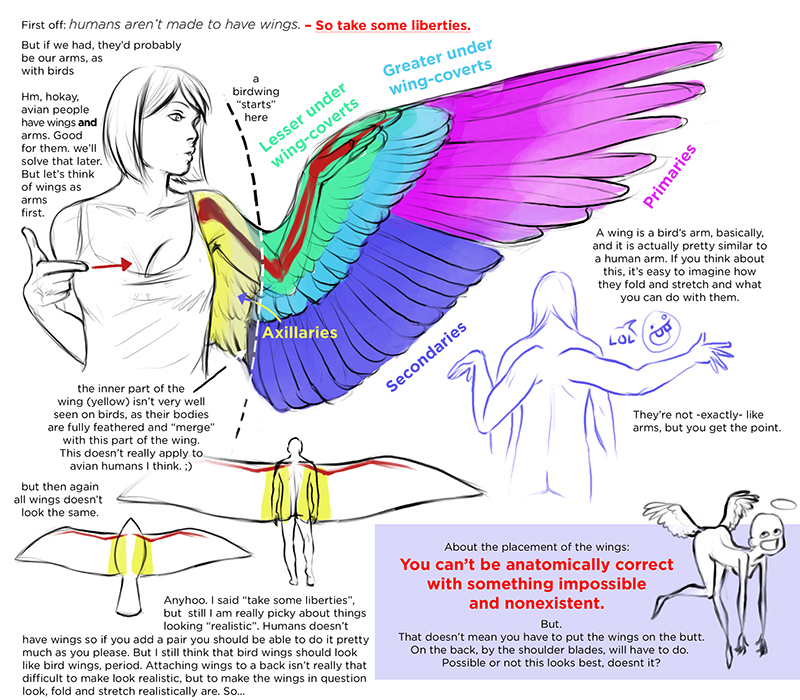 800x700 Anatomy Reference Tutorial Art Tutorial Wing Tutorial Wing