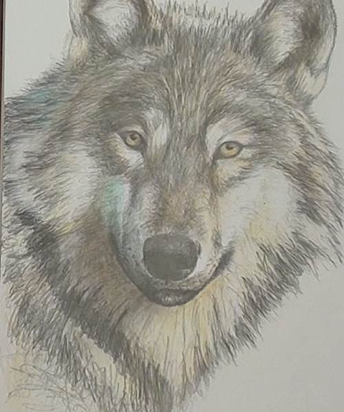500x599 How to Draw a Wolf in Pencil Online Art Lessons