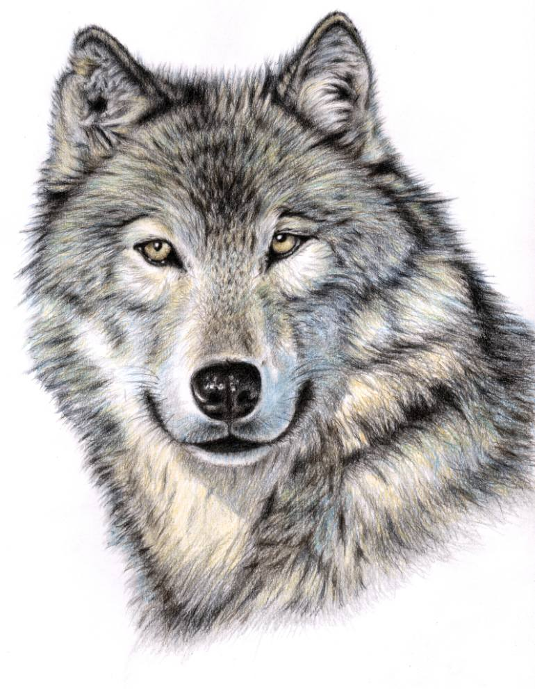 770x991 Saatchi Art The Wolf Portrait Drawing by Nicole Zeug