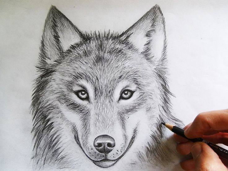 736x552 photos how to draw a wolf face
