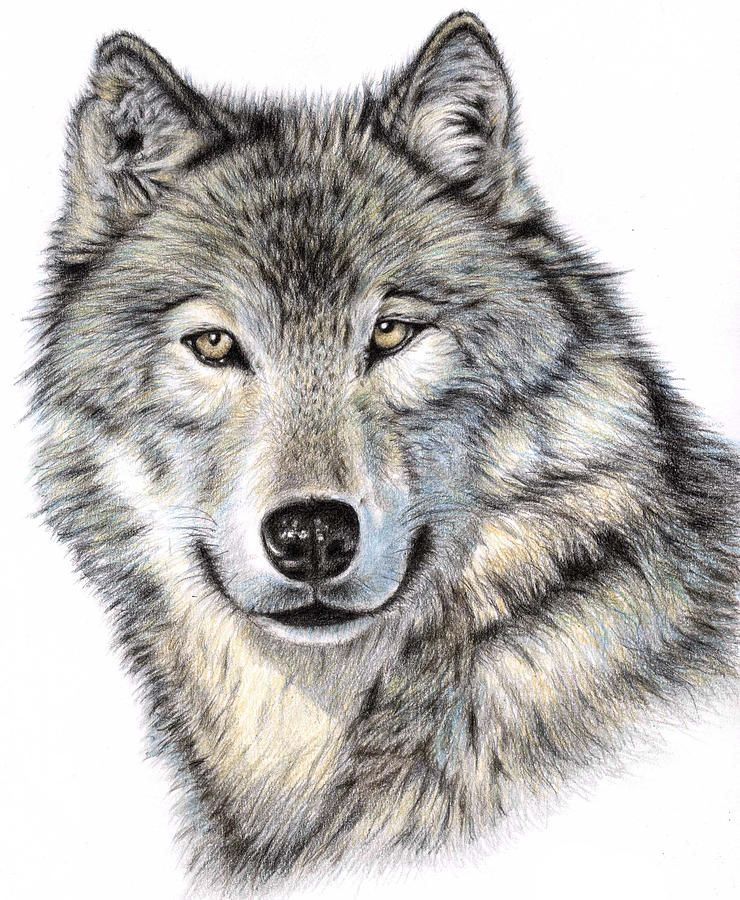 740x900 Photos Wolf Head Drawing In Pencil,