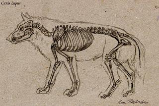 320x214 Wolf Skeleton by Katie Pfeilschiefter Dead Things Pinterest