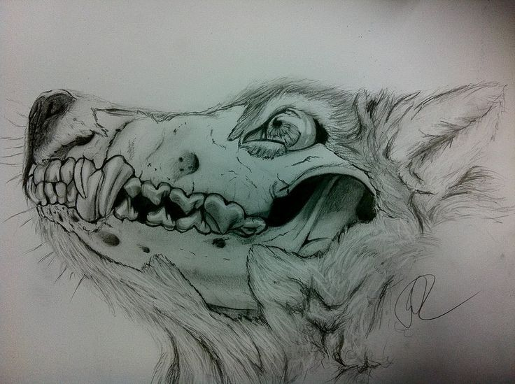 736x549 Wolf Skeleton Drawing. Love It!