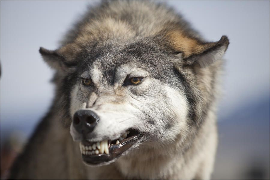 900x600 Images Of Wolves to Draw Unique Photographs Wolf Snarl Debbie