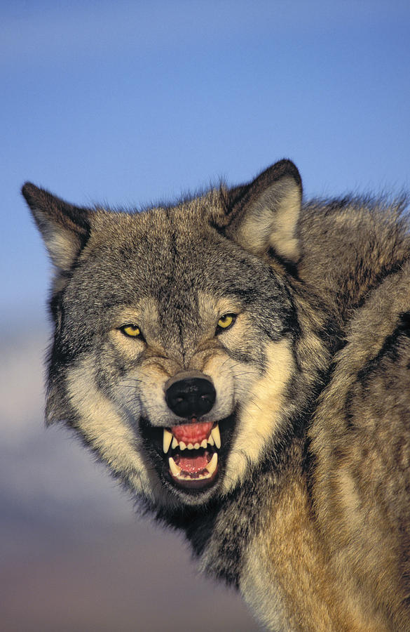 585x900 T.kitchin Wolf Snarling Photograph By First Light