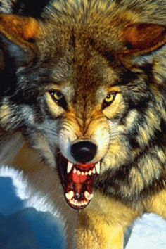 236x354 wolf growling Snarling Wolf Large Closeup Bares Fangs Image From