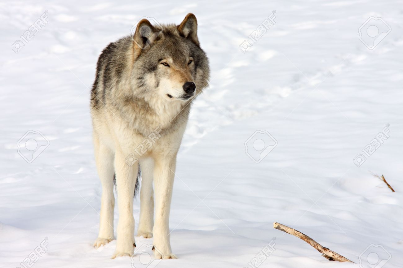 1300x866 Front View Of A Standing Wolf In The Snow Stock Photo, Picture