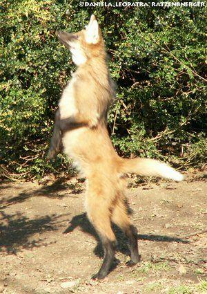 300x425 Pix For Gt Wolf Standing On Hind Legs Wolves Maned