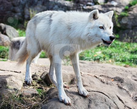 450x360 Young Arctic Wolf Standing On Rocks Stock Photo Projects To Try