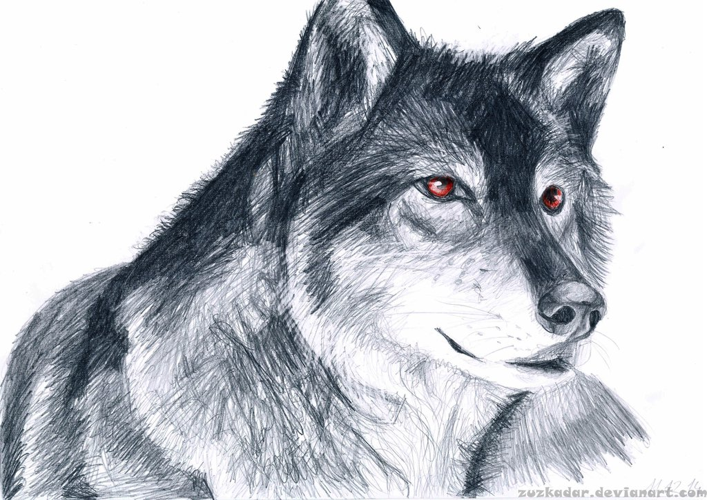 1024x725 Wolf Drawing By Zuzkadar
