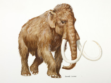 428x321 A Reconstruction Drawing Of A Palaeolithic Woolly Mammoth By Derek