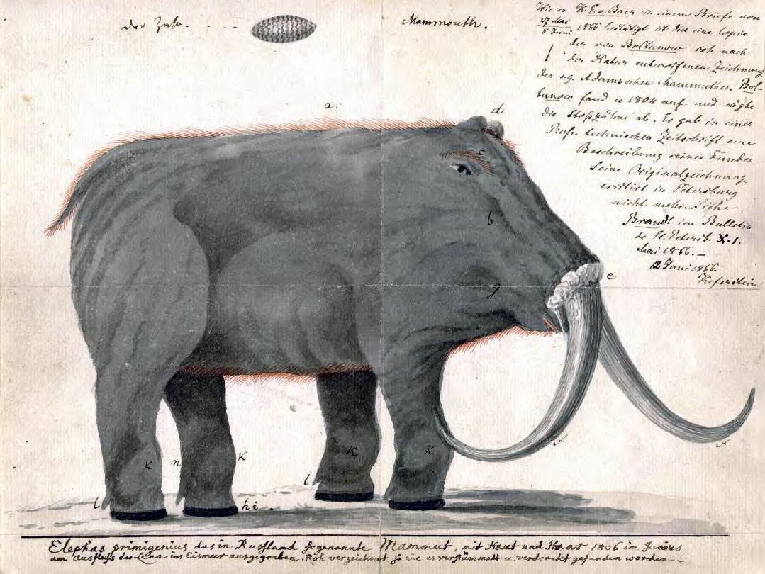 1079x810 Fileboltunov Mammoth.jpg