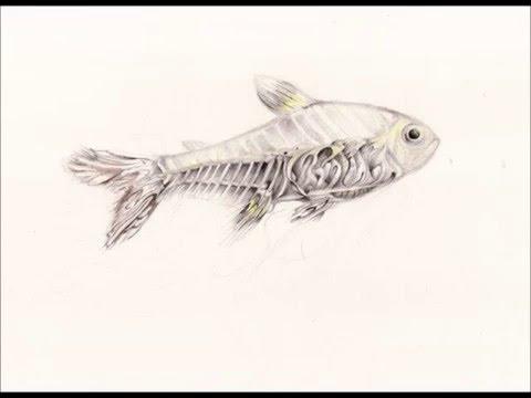 480x360 X Ray Fish