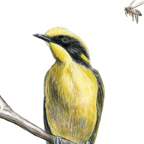 287x288 Helmeted Honeyeater Greeting Card, Yellow Bird, Bee, Wildlife