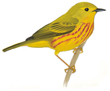 386x317 Prothonotary Warbler Audubon Field Guide