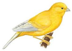 236x167 Yellow Canary Bird Drawing