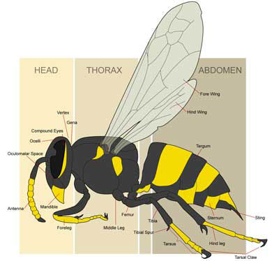 390x374 Yellow Jacket Facts