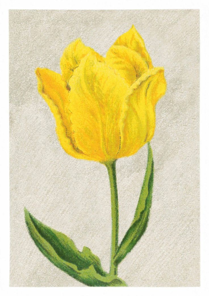 736x1040 160 Best Tulip, Iii Images On Watercolours