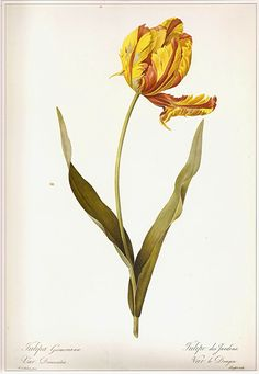 236x341 An Early 18th Century Drawing Of Tulip
