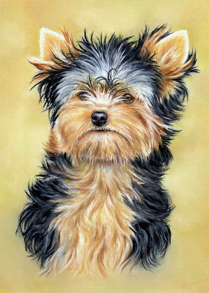 800x1123 How To Draw The Eye Of A Yorkshire Terrier (Video) Colin Bradley Art