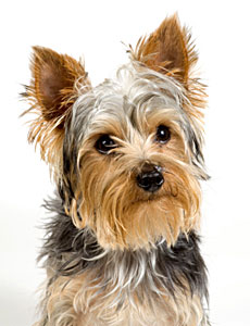 230x300 How To Stop Your Yorkie Puppy From Biting