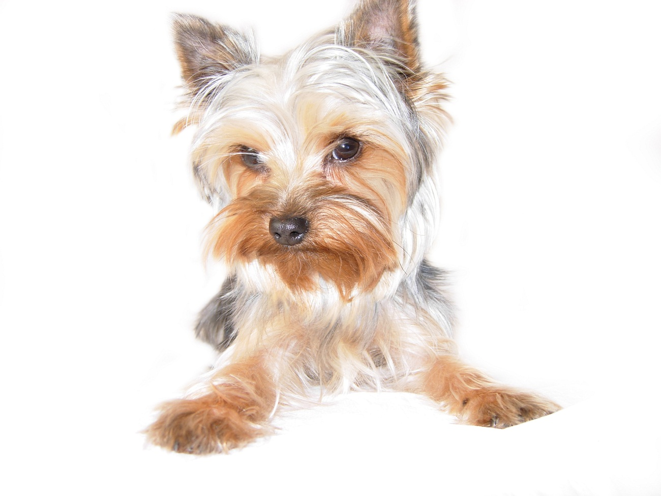 1300x975 Image Result For How To Draw A Yorkie Yorkies