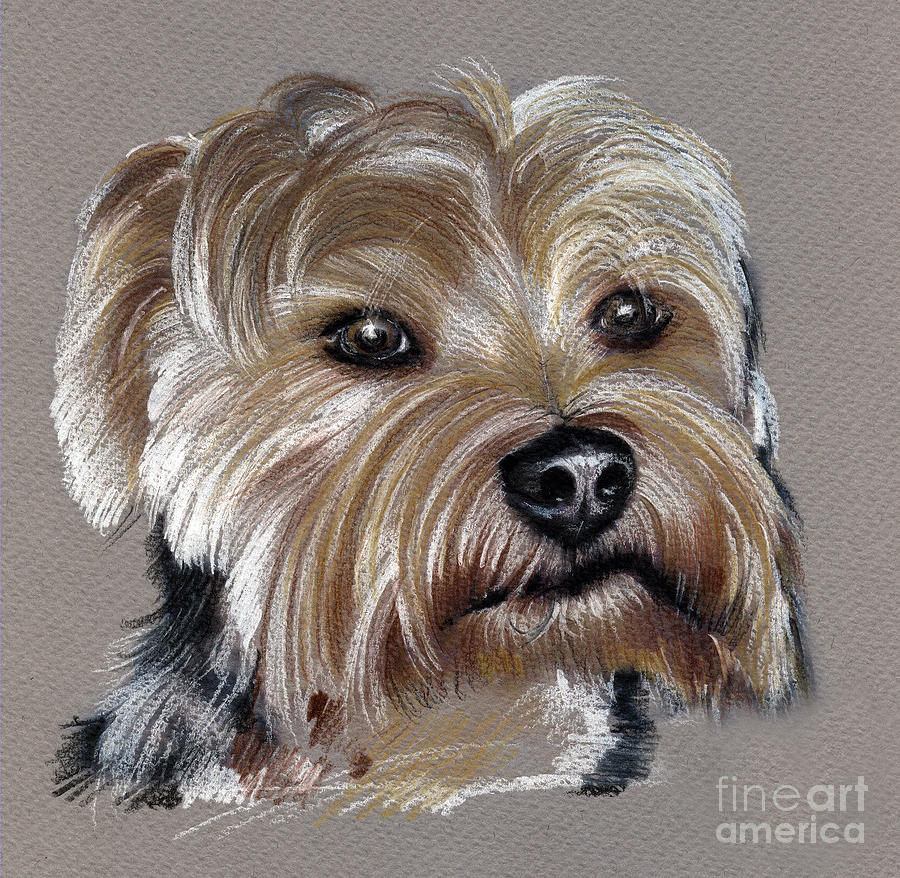 900x878 Yorkshire Terrier Drawing Drawing By Daliana Pacuraru