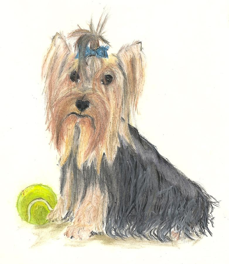 782x900 Yorkie Indy At Play Drawing By Jessica Raines