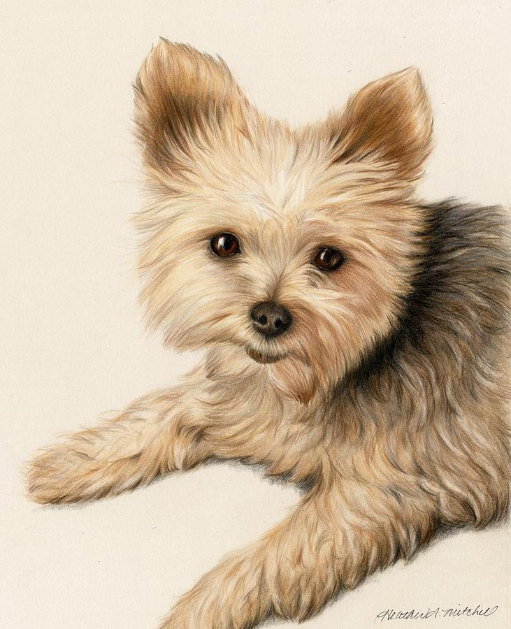 731x900 Yorkie Puppy Drawing By Heather Mitchell